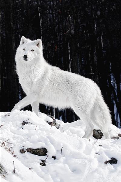 Quel est le mode de vie du loup ?