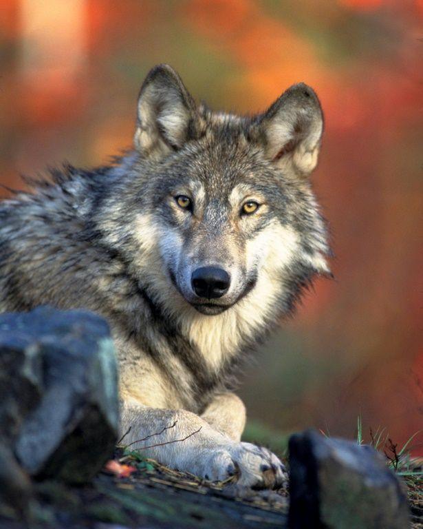 Un animal mythique : le loup