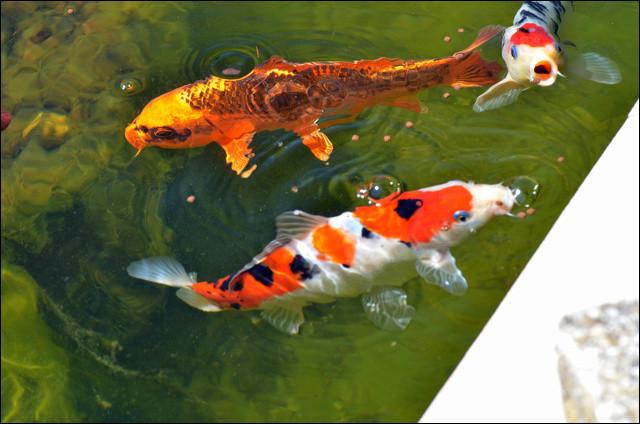Comment s'appelle cette espèce de poisson que l'on peut rencontrer dans des espaces d'eau aux jardins japonais ?
