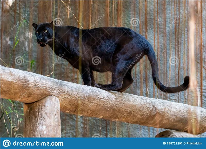 Quelle est la différence entre panthère des neiges et léopard des neiges ?
