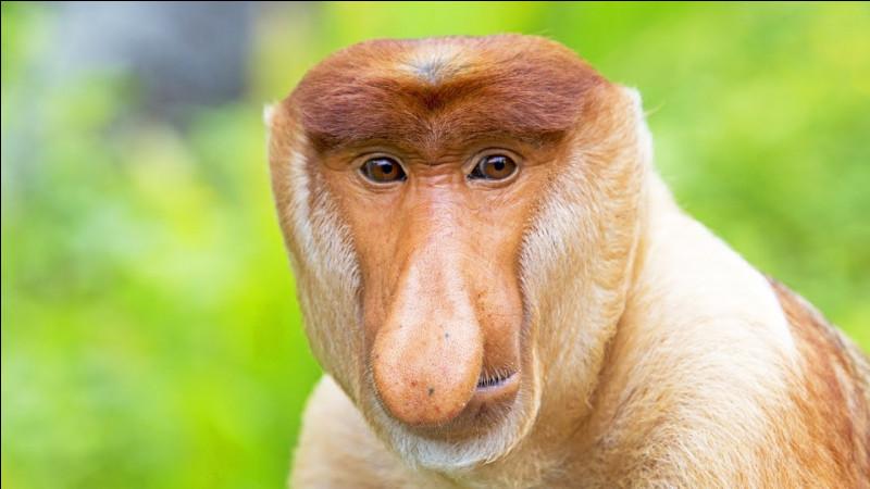 Ce qui caractérise ce singe asiatique, c'est justement son nez, surtout chez les mâles !