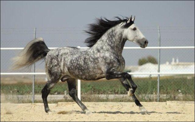 Comment s'appelle la robe de ce cheval ?