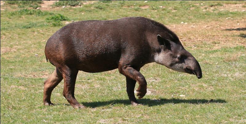 Le tapir est un mammifère ongulé originaire, selon les espèces, d'Asie, d'Amérique centrale ou d'Amérique du Sud. Que signifie tapir dans le jargon de l'École normale supérieure.Indice : coup de pouce.