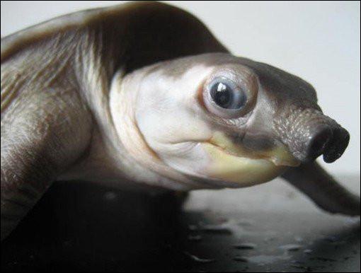 La tortue à nez de cochon est originaire de Nouvelle-Guinée et du nord de l'Australie. Quelle est sa particularité ?Indice : apparition aquatique.