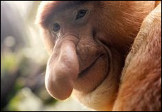 Le nasique est un singe qui se démarque par son long nez. Cette caractéristique est présente uniquement chez les mâles. Les femelles ont en effet un nez plus court et légèrement en trompette. Ce singe vient de l'île de Bornéo. Dans quel pays se situe cette île ?Indice : Jakarta en est la capitale.