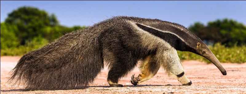 Le tamanoir est un mammifère insectivore originaire de l'Amérique centrale et du sud. Quelle phrase est vraie le concernant ?Indice : à surveiller pour détecter une fièvre.