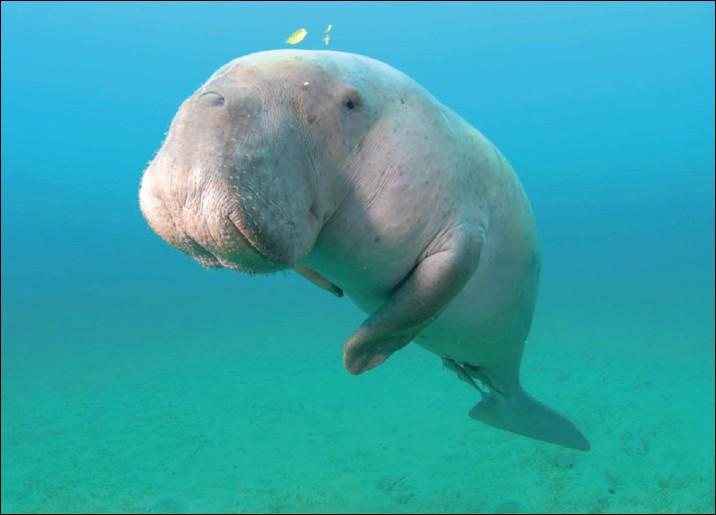 """Voilà un animal mignon comme tout. On a envie de lui faire plein de câlins. Le dugong fait partie de l'ordre des siréniens comme ses amis les lamantins. Quel écrivain a évoqué dans deux ouvrages cet animal que l'on surnomme vache marine ?Indice : """"Vingt Mille Lieues sous les mers""""."""