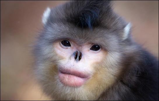Le rhinopithèque de Roxellane est également appelé « singe à nez retroussé ». La forme de son nez, que l'on dirait amputé, lui éviterait les gelures que le froid pourrait occasionner. Ce singe menacé d'extinction vit en Chine, au Tibet, en Birmanie et dans un autre pays. Lequel ?Indice : sa capitale est Hanoï.