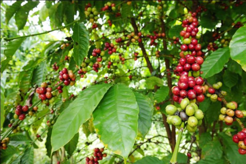 Il pousse à des altitudes variant entre 800 et 2000 mètres. Son goût est parfumé, délicat, tantôt un peu fruité, tantôt acidulé. Représentant 70 % de la production mondiale, c'est la plus ancienne espèce connue. Qui est-ce ?