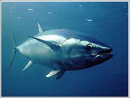 Quel est l'autre nom du grand thon blanc ?