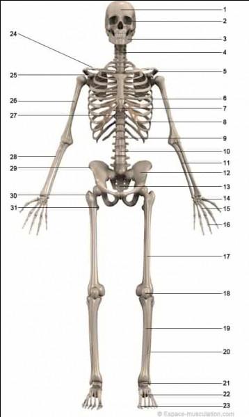 Comment s'appelle l'os de la cuisse ?
