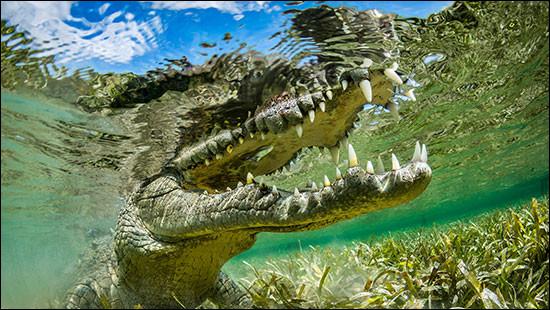 Comment appelle-t-on le cri du crocodile ?