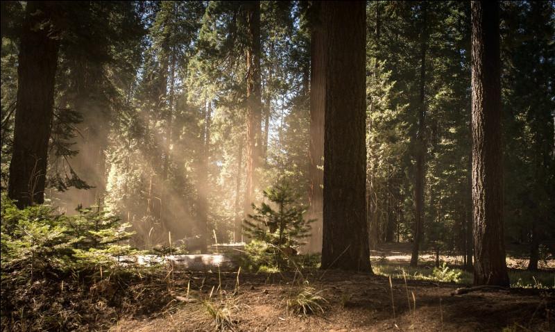 Quelle hauteur record peut atteindre le Sequoia sempervirens ?