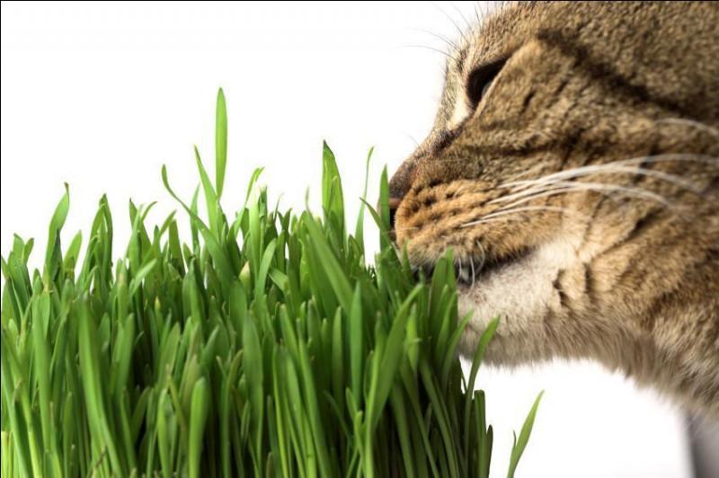 Quel effet peut avoir l'herbe à chat sur nos petites boules de poils ?