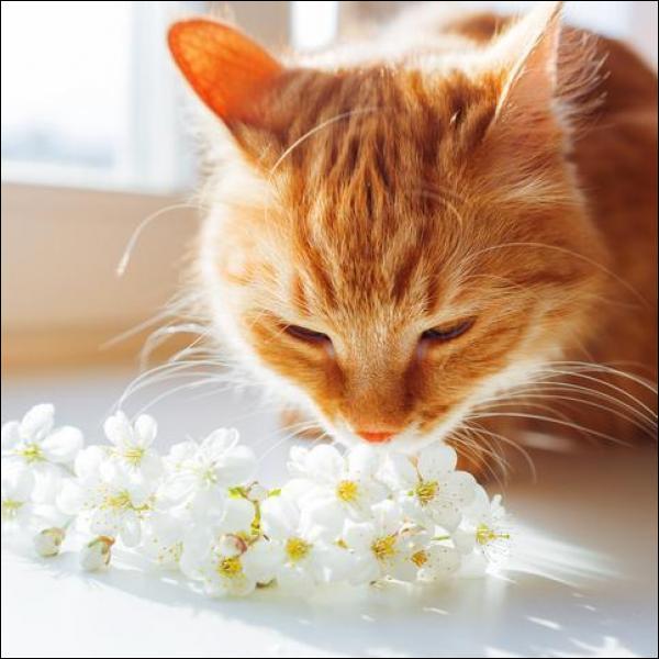 Que risque un chat qui perd partiellement ou totalement l'odorat ?