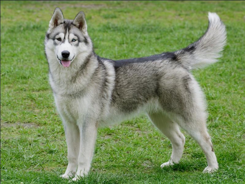 D'après toi, à quelle catégorie appartient cette race de chien ?