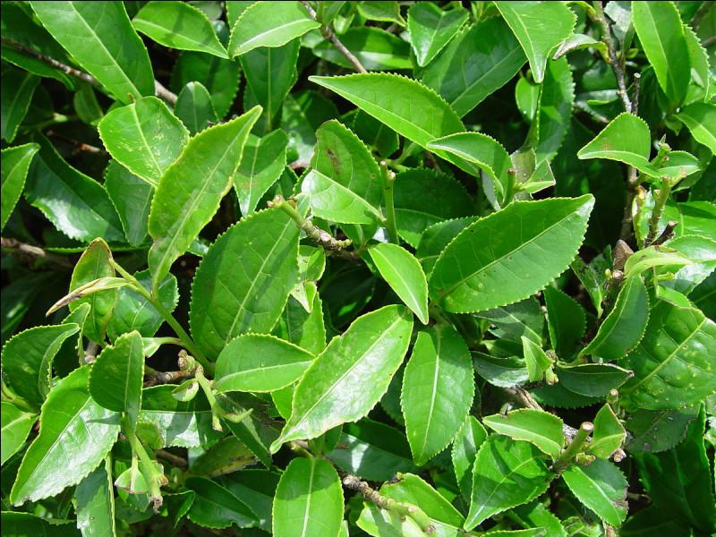 Comment nomme-t-on le plant qui produit les feuilles de thé ?