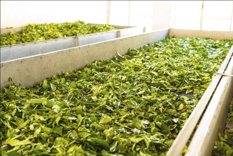 En France, pouvons-nous trouver des producteurs de thé ?