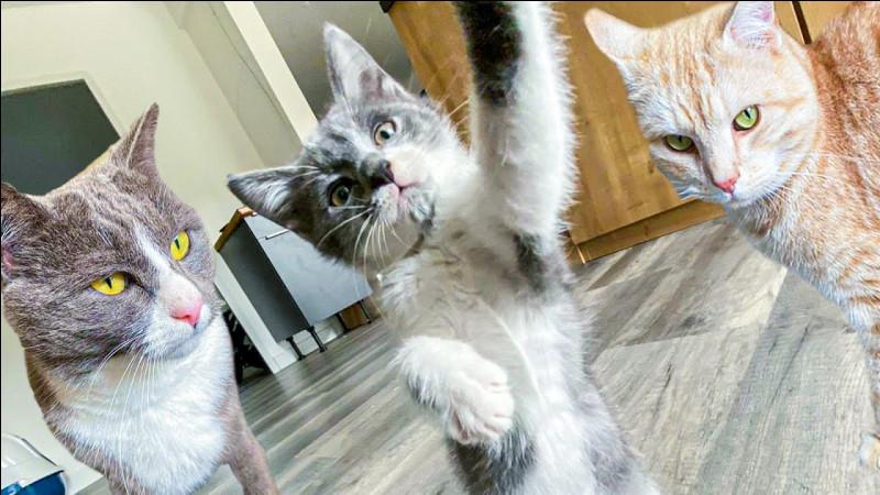 Généralement lorsque les chats sont énervés ils émettent...