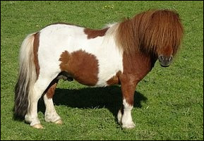 Les chevaux sont des ruminants :