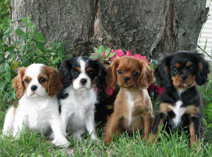 Quiz races de chiens