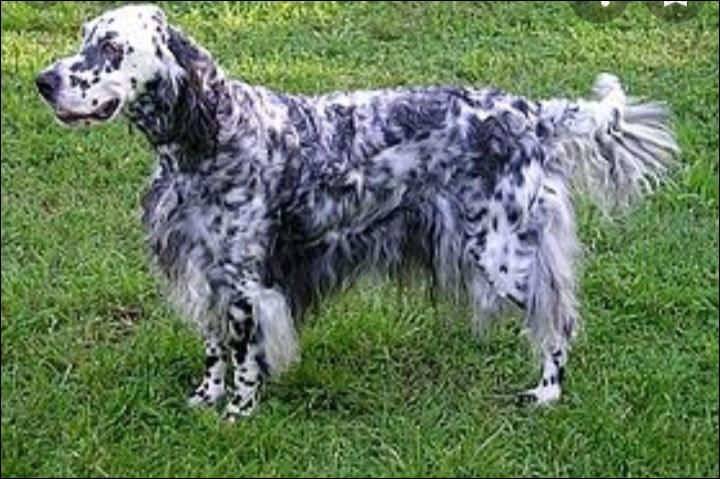 Quelle est la nationalité de ce chien ? - Setter llewellin