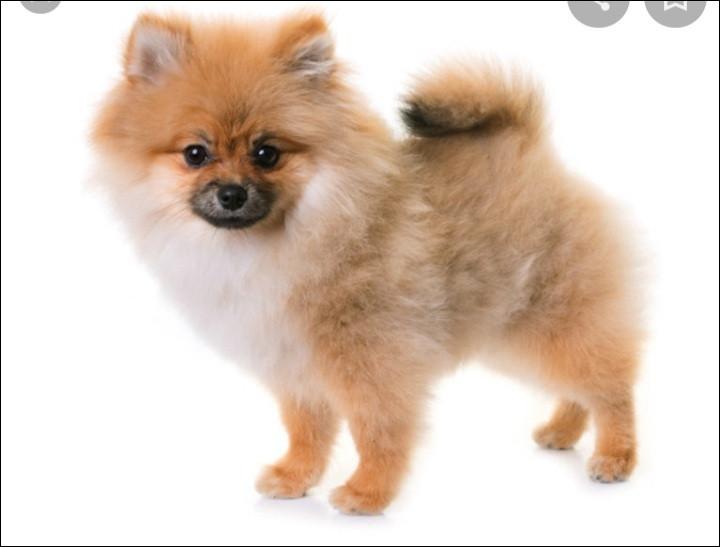 Quelle est la nationalité de ce chien ? - Spitz nain