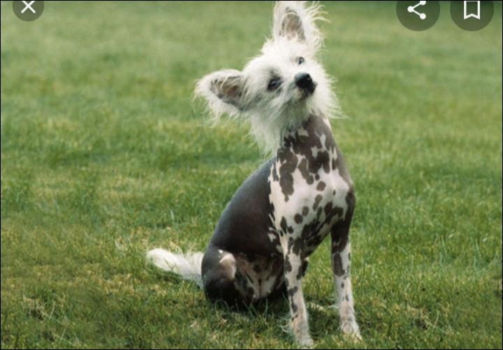 Quelle est la nationalité de ce chien ? - Chien chinois à crête