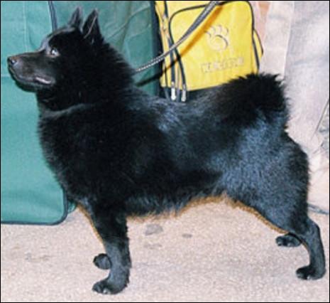 Quelle est la nationalité de ce chien ?- Schipperke