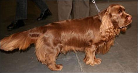 Quelle est la nationalité de ce chien ?- Sussex spaniel