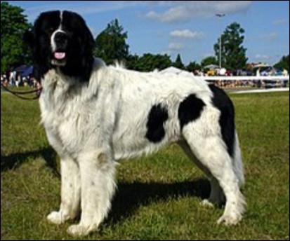 Quelle est la nationalité de ce chien ?- Landseer