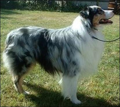 Quelle est la nationalité de ce chien ?- Berger australien