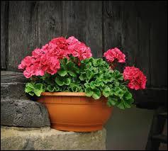 Il faut planter le géranium à l'ombre, cette fleur ne supporte pas les rayons du soleil.