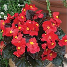 Le bégonia est une plante originaire des Antilles.