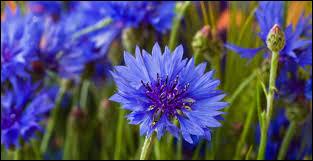 Le bleuet est une plante bisannuelle
