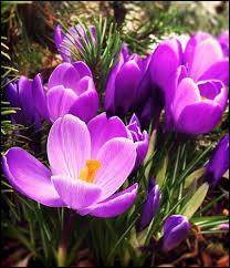 Regardez ces magnifiques fleurs, ce sont des crocus.