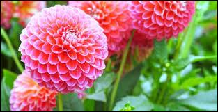 Le dahlia est originaire des régions chaudes du Mexique, d'Amérique centrale ainsi que de la Colombie.
