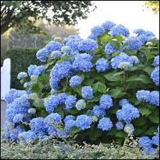 Il faut un sol acide pour les variétés à fleurs bleues.