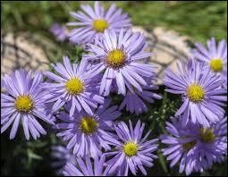 Quelle est cette fleur vivace à floraison automnale ?