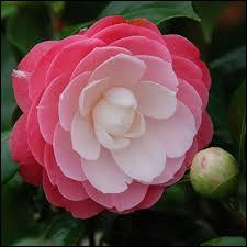 """Fleurs connues sous le nom de """"cháhuā"""" en chinois."""