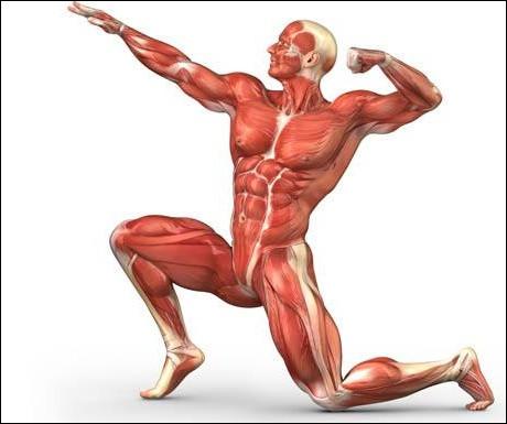 """Dans quelle partie du corps trouve-t-on le muscle appelé """"grand glutéal"""" ?"""