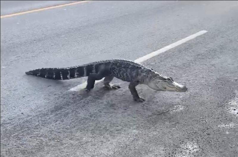 À quoi reconnaît-on un alligator d'un crocodile ?