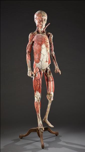 Combien de muscles l'être humain possède-t-il ?