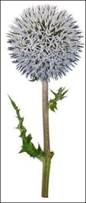 Cette fleur s'appelle échinops.
