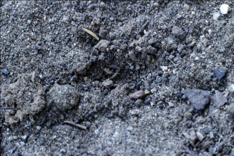 La technique de cet animal pour attraper ses proies, c'est de creuser un entonnoir dans le sable !