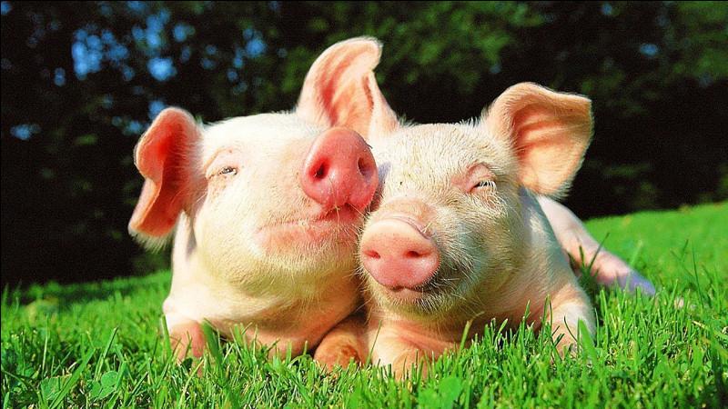 Quel est le bébé du cochon ?