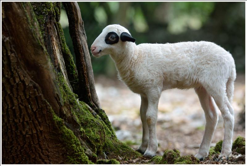 D'où vient l'agneau d'après une IGP ?