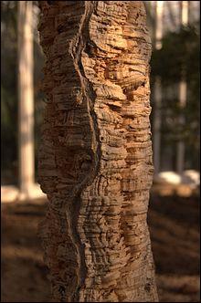 Quel arbre produit leliège ?