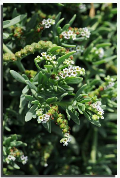 Languedoc-Roussillon, commune de Sigean dans l'Aude ! L'île de l'Aute abrite cette plante à petites fleurs blanches (photo), abondante dans les zones sableuses salées des bords de mer. Quel est son nom ?