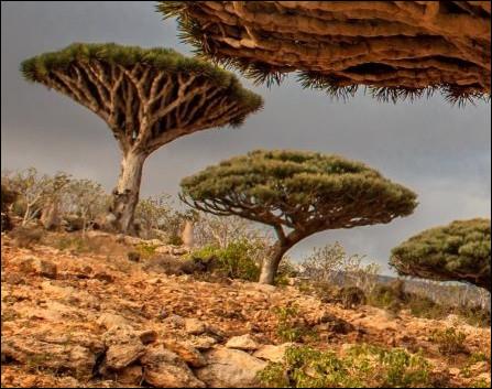 Le dragonnier est une plante connue depuis l'Antiquité par les Grecs, les Romains puis les Arabes qui utilisaient sa sève comme teinture. De quelle couleur s'agit-il ?